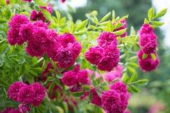 Climbing Rose Stock Images