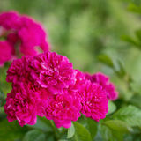 Climbing Rose Stock Photography