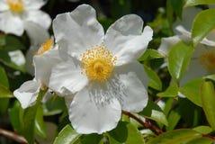 Free Climbing Rose R. Laevigata Cooperi Royalty Free Stock Photo - 208827725