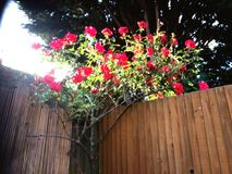 Climbing rose. Reaching for the Stock Photo