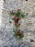 Climbing rose on a stone wall royalty free stock images