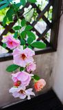Climbing rose on wood trellis stock photo
