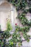 Climbing rosebush. Color image Stock Image