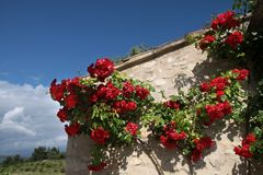 Climbing roses Royalty Free Stock Images