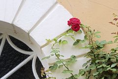 Climbing roses. In the courtyard of Palace of  Johannisberg, Rheingau, Hesse, Germany Stock Photos