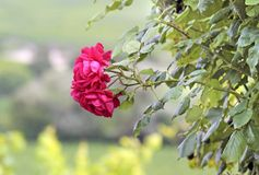 Climbing roses Stock Images