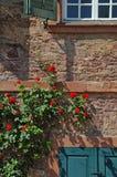 Climbing roses Stock Image