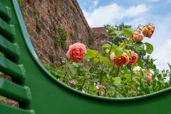 Climbing roses in front of the wall at Eastcote House Gardens, historic walled garden, London UK