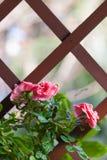 Climbing roses Stock Photography