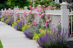 Climbing Roses, White Fence. Climbing roses on white fence bordering garden and sidewalk. Salvia (sage), catmint and lady's mantle Stock Image
