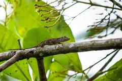 Climbing Salamander Royalty Free Stock Photos