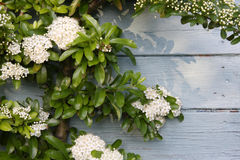 Climbing shrub Stock Photo