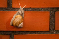 Free Climbing Snail Royalty Free Stock Photos - 44499808