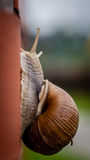 Climbing snail Royalty Free Stock Image