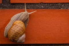 Climbing snail Royalty Free Stock Photos