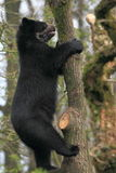Climbing spectacled bear Royalty Free Stock Image