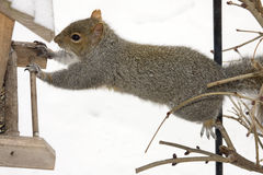 Climbing Squirrel Stock Images