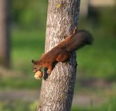 Climbing Squirrel. Squirrel climbing on a tree with a cone in his mouth Stock Photo