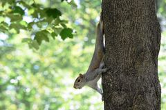 Climbing squirrel Royalty Free Stock Photography