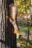 Climbing squirrel Stock Image