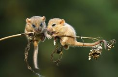 Climbing on stalk. Adorable dormouses on stalk climbing Stock Images