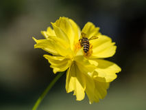 Climbing to the pollen, by the bee. Stock Images