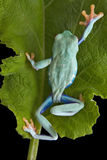 Climbing tree frog Stock Photos