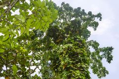 Vine with Large Green & Yellow Leaves Climbing Tree royalty free stock photography