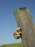 Climbing up. Snail climbing up a wooden peg 0810_65 Stock Photos