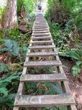 Climbing up a huge ladder on the west coast trail in the forests stock photo