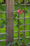 Climbing Up & Over. Flowering vine growing in a container climbing up the wooden lattice, with a green lawn in the background and a couple of blossoms bringing Royalty Free Stock Photo