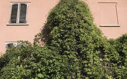 Climbing vegetation on wall Stock Photography