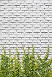 Climbing vine on brick wall Stock Image