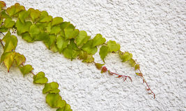 Climbing vine on wall Royalty Free Stock Photo