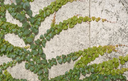 Climbing Vines of Ivy Stock Photo