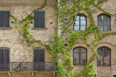 Climbing Vines of Ivy. On House Royalty Free Stock Photo