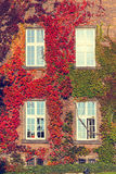 Climbing vines of ivy on a house Stock Photos