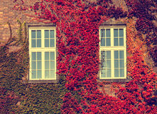 Climbing vines of ivy on a house Stock Images