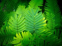Climbing Wattle Leaves Arranging stock images