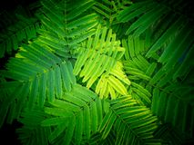 Climbing Wattle Leaves Arranging stock photo