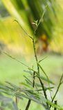 Climbing wattle tree Stock Photo