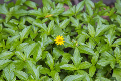 Climbing wedelia grown among their leaves, little yellow flower. Stock Images