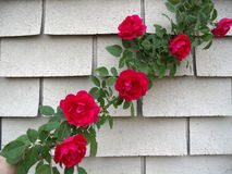 Wild red roses climbing on vine Stock Images