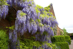 Climbing Wisteria. Wisteria Rambling on an Old English Walled Garden Stock Photo