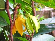 Climbing Ylang-Ylang Royalty Free Stock Photography