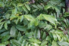 Climbing Ylang Ylang, Artabotrys hexapetalus. At Florida Botanical Garden Stock Image