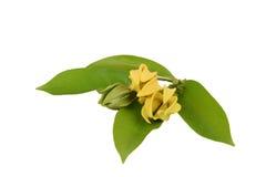 Climbing ylang-ylang, climbing ilang-ilang, manorangini, hara-champa or kantali champa, flowers. Climbing ylang-ylang, climbing ilang-ilang, manorangini, hara Royalty Free Stock Photo