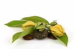 Climbing ylang-ylang, climbing ilang-ilang, manorangini, hara-champa or kantali champa, flowers. Climbing ylang-ylang, climbing ilang-ilang, manorangini, hara Stock Images