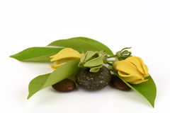 Climbing ylang-ylang, climbing ilang-ilang, manorangini, hara-champa or kantali champa, flowers. Stock Images