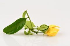 Climbing ylang-ylang, climbing ilang-ilang, manorangini, hara-champa or kantali champa, flowers. Climbing ylang-ylang, climbing ilang-ilang, manorangini, hara Royalty Free Stock Photos